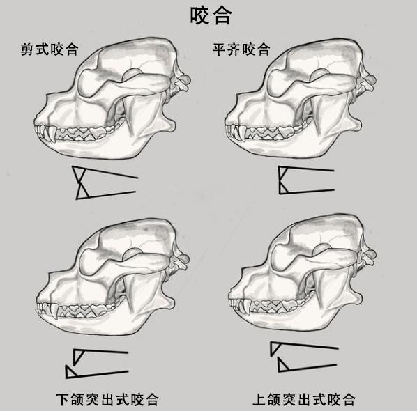 标准的牙齿咬合图片